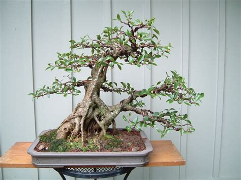 ficus wired russell coker