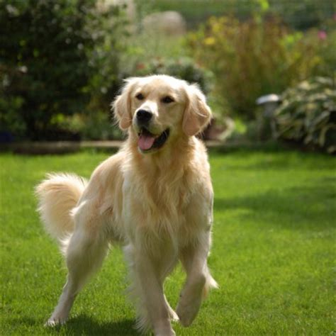 golden retriever techniques golden retriever namen tips voor het kiezen een naam