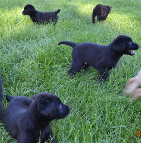 purebred black lab puppies purebred black labrador retriever pups west carleton ottawa mobile