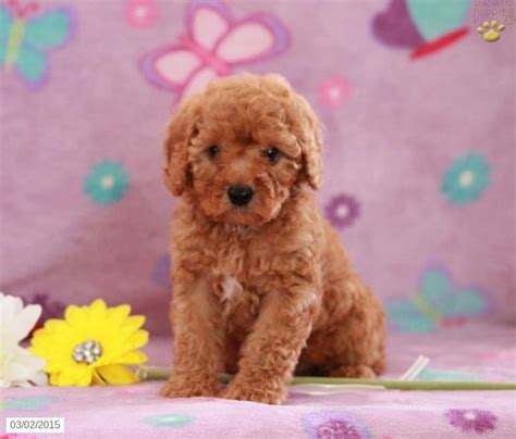 mini labradoodles for sale in pa 16 best images about labradoodles on