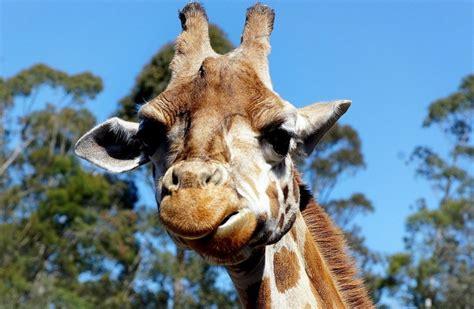 google imagenes de jirafas fotos graciosas de jirafas 191 cu 225 ntas cr 237 as