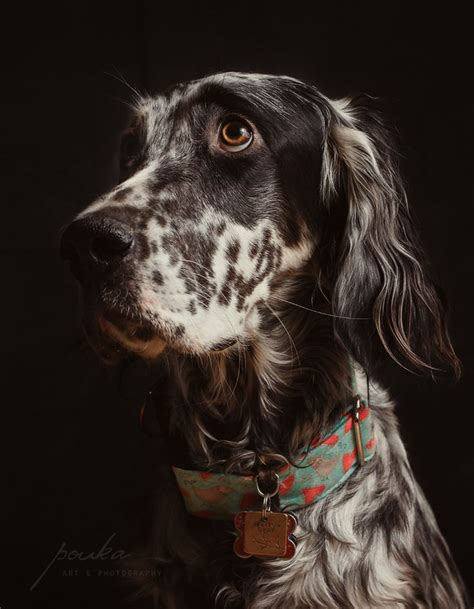 english setter dog collar 117 best images about english setters on pinterest