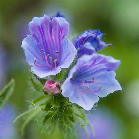 Deep Blue Violets And Plants On Pinterest Blue Garden Flowers