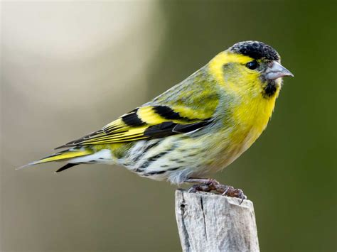 the siskin identification diet migration saga