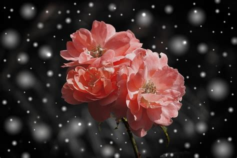 rose flower flowers  photo  pixabay