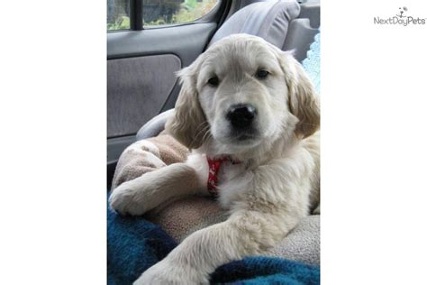 golden retriever puppies for sale in utah golden retriever puppy for sale near st george utah 96002153 5ff1