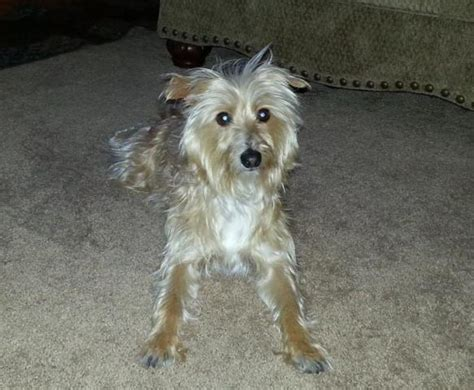 yorkie limping my 3 year yorkie italian greyhound mix has been limping periodically but not