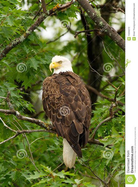 wild bald eagle perched  tree stock photo image