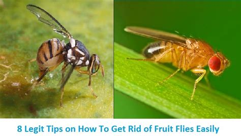 how do you get rid of flies in the backyard 8 legit tips on how to get rid of fruit flies easily
