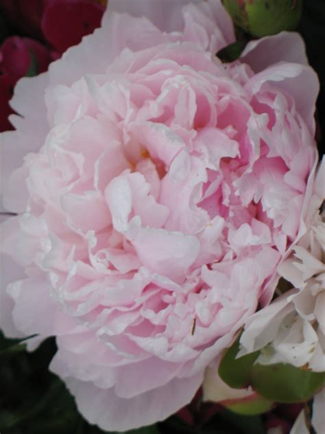 pink peonies peony color the dirt