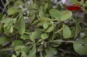 where can you buy mistletoe buy mistletoe 28 images buy fresh organic mistletoe