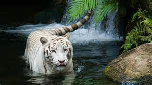 fond ecran hd animal tigre blanc gratuit wallpaper white