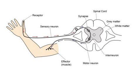 diagram of the reflex arc reflex and reflex arc what happens when you