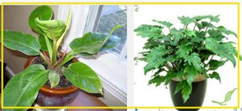 Bibit Jeruk Purut Yang Bagus pembibitan tanaman hias philodendron tanaman bunga hias