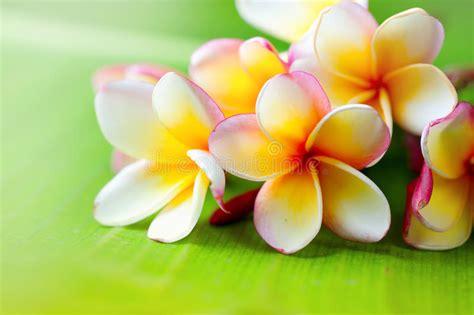 fiori frangipane primo piano fiore frangipane fiori esotici della