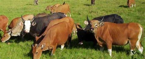 mengobati penyakit jembrana  sapi bali