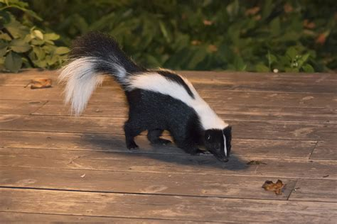 skunk in backyard 5 ways to get rid of a skunk with out chemicals