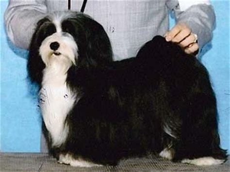 havanese show dogs havanese breed information and puppy tips breeds breeds picture