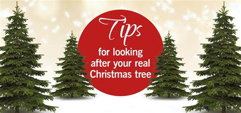 3 simple tips for looking after your christmas tree