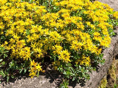 fiori perenni da bordura bassa piante da bordura sempreverdi piante da giardino