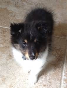 tri color sheltie tri color shetland sheepdog puppy shelties