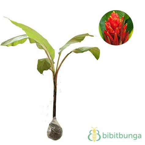 Serbuk Songgo Langit 1 Kg Tanaman Pisang Songgo Langit Scarlet Banana Bibitbunga