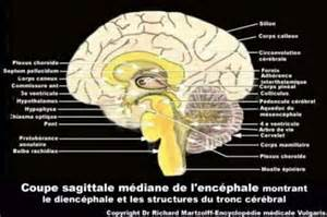image photo cerveau coupe sagittale m 233 diane neurologie