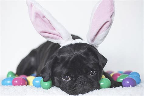 easter pug 5 recipes to make your pug this easter the pug diary