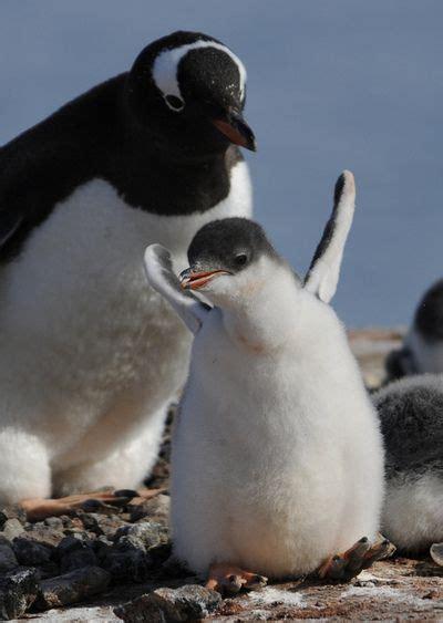 understanding a photograph penguin 25 best ideas about penguin pictures on penguins pictures of penguins and baby