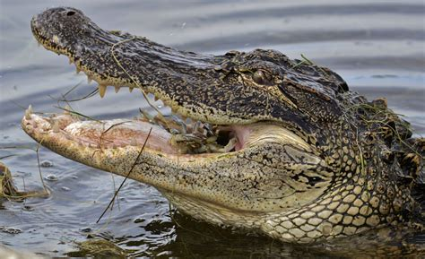 Alligator Kills, Eats Burglar in Brevard County | New ...