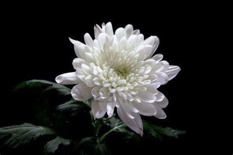 fiori crisantemi crisantemi significato significato fiori il