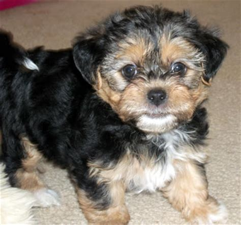 teacup yorkie and shih tzu mix teacup and micro terriers