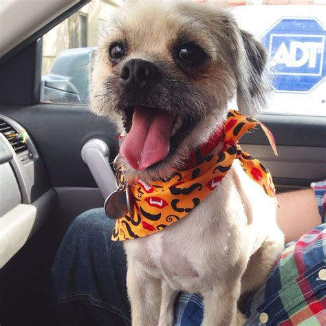 pug poodle mix hypoallergenic wally the pugapoo half pug half poodle all sass dogs poodles pug