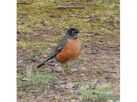 backyard bird feeder birds the american robin a true