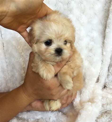 puppies for sale california pin sale california teacup puppies for pomeranian on