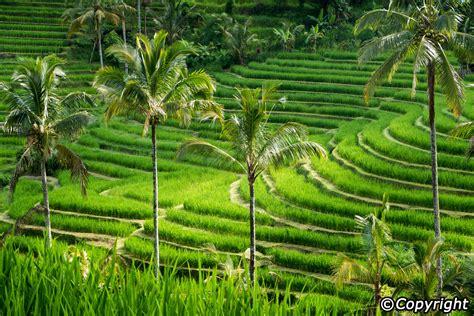 jatiluwih rice terraces bali sun tours