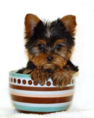 teacup yorkie cost how much does a yorkie cost drinkatcalsbar