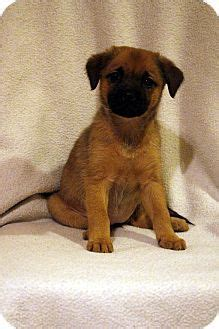 pug fox terrier mix the world s catalog of ideas