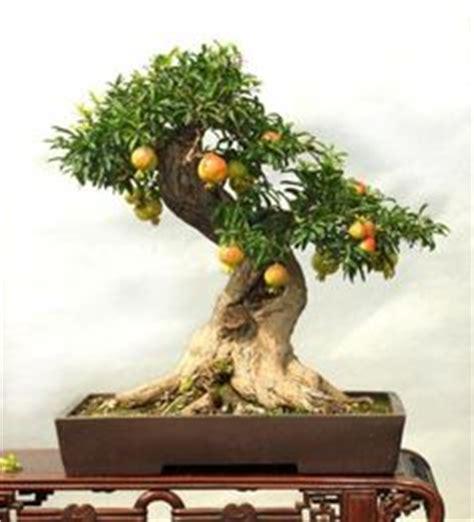 Delima Mini Mini Pomegranate buah delima pohon bonsai 30 pcs biji buah serat tinggi