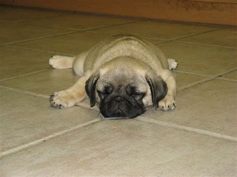 baby pugs sleeping image gallery sleeping pugs