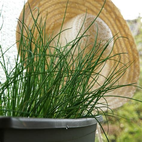 growing chives   plant grow  harvest fresh chives