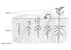 Weed Plant Flowering Stage - gallery for gt germination diagram for kids