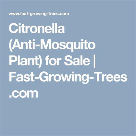 17 best ideas about citronella plant on pinterest