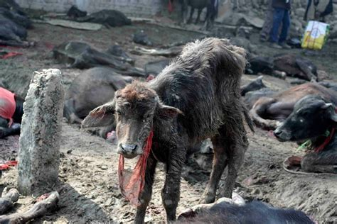 Goat Standing On Cow by Stop The World S Largest Animal Sacrifice Campaigners