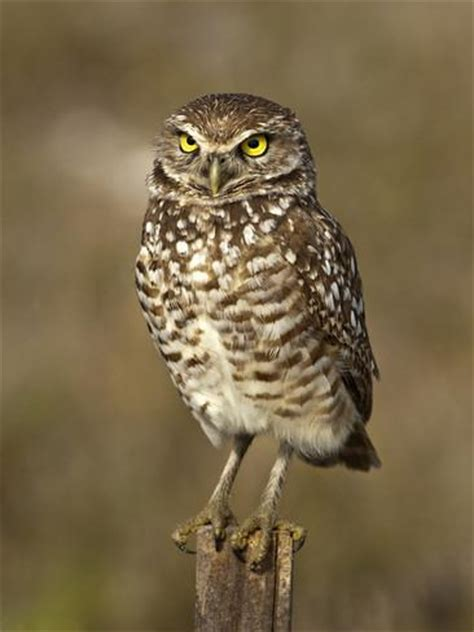 burrowing owl printable pictures burrowing owl athene cunicularia cape coral florida