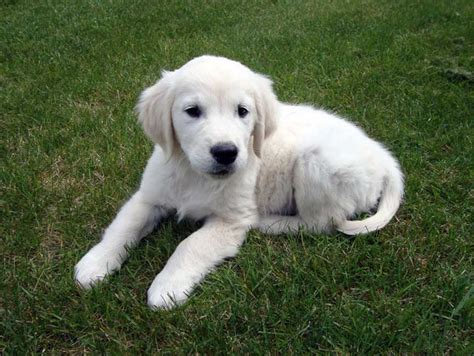 golden retriever puppies in ontario golden retriever puppies ontario photo