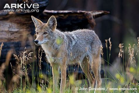 coyote videos photos and facts canis latrans arkive coyote photo canis latrans g61674 arkive