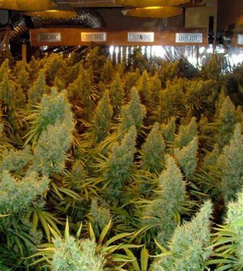 le culture indoor les vari 233 t 233 s de cannabis les plus productives du growshop alchimia