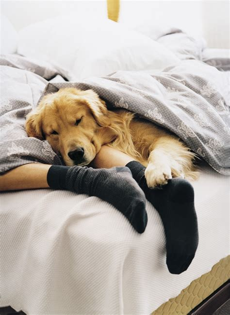 golden retriever in bed why publicists don t feel the on s day the voice of reason in