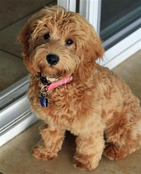 mini labradoodles hawaii miniature labradoodle dogs are best friends